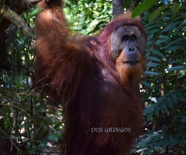 samiec orangutana, jeden z największych żyjących w Parku