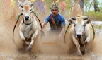 Pacu Jawi, czyli wyścigi byków na Sumatrze