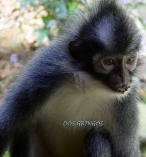 Thomas New Leaf, jeden z wielu gatunków małp żyjących w Gurung Leuser Park