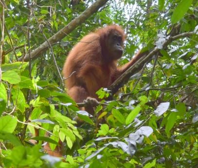 dziecko orangutana