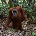 Sumatrzańskie orangutany cz. 2