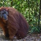 Sumatrzańskie orangutany cz. 1