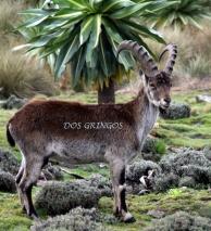 Walya ibex