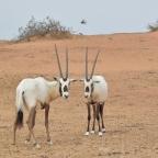 Rezerwat przyrody Al Maha w Dubaju